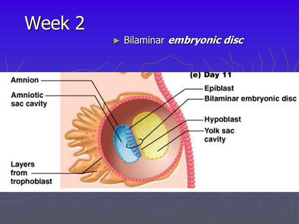Week 2 ► Bilaminar embryonic disc