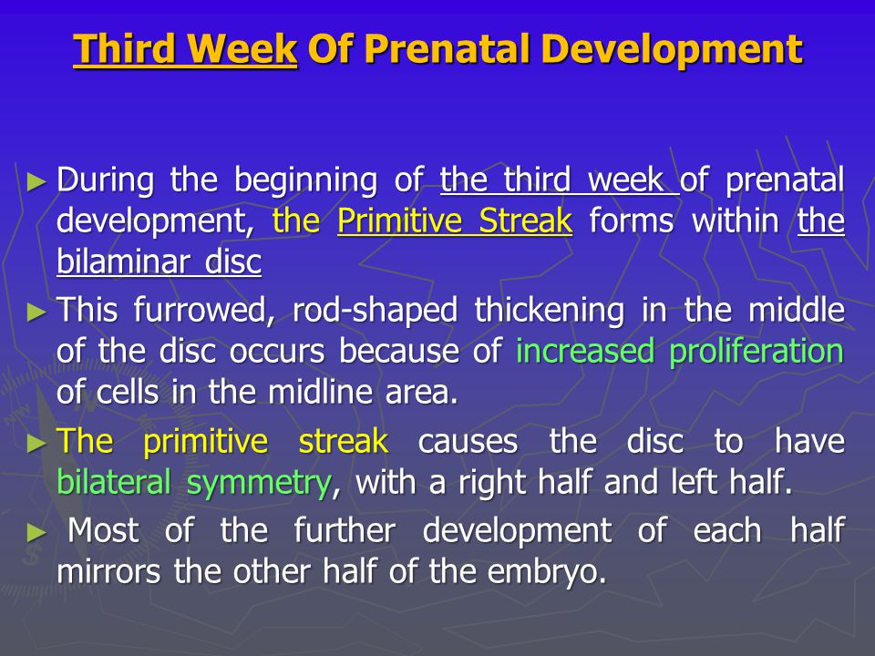 Third Week Of Prenatal Development ► During the beginning of the third week of prenatal development, the Primitive Streak forms within the bilaminar d