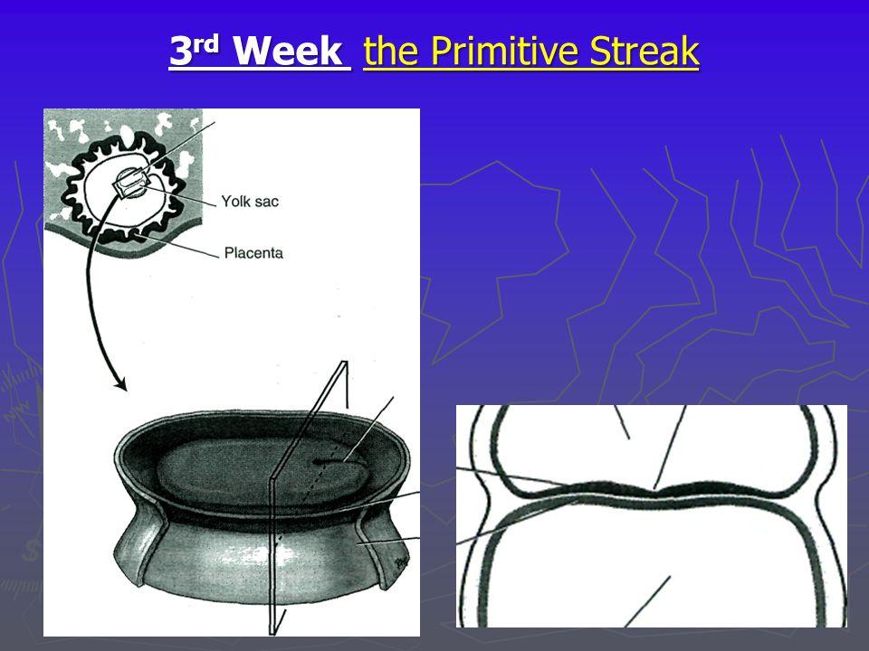 3 rd Week the Primitive Streak Embryonic bilaminar disc *Epiblast layer — *Hypoblast layer- Yolk sac/ Figure 3-6 The bilaminar embryonic disc and form