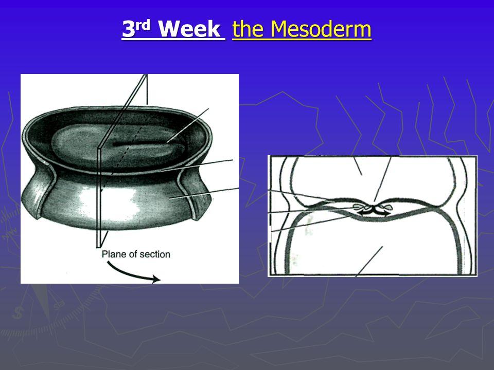 3 rd Week the Mesoderm