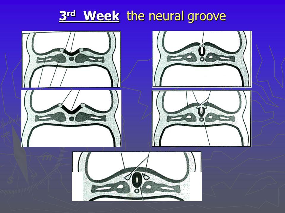 3 rd Week the neural groove