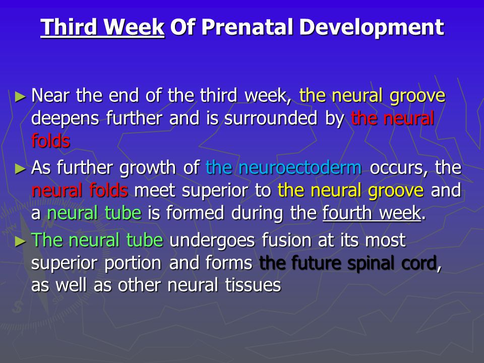 Third Week Of Prenatal Development ► Near the end of the third week, the neural groove deepens further and is surrounded by the neural folds ► As furt