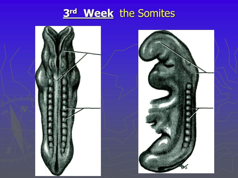 3 rd Week the Somites