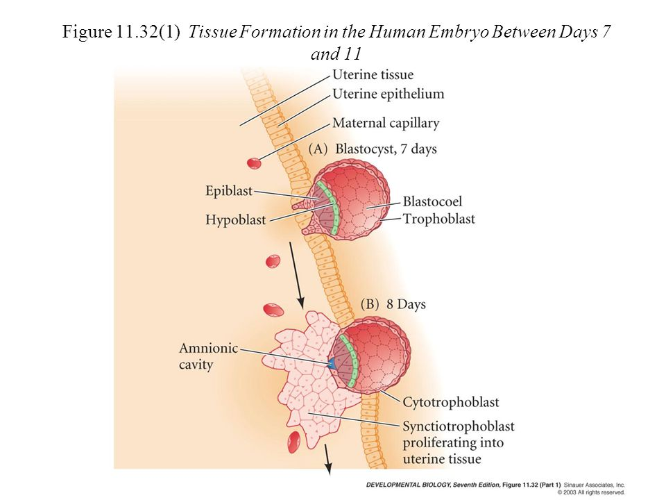 Figure 11.32(1) Tissue Formation in the Human Embryo Between Days 7 and 11