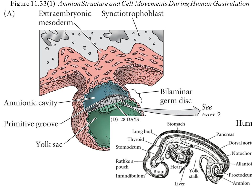 Figure 11.33(1) Amnion Structure and Cell Movements During Human Gastrulation Human