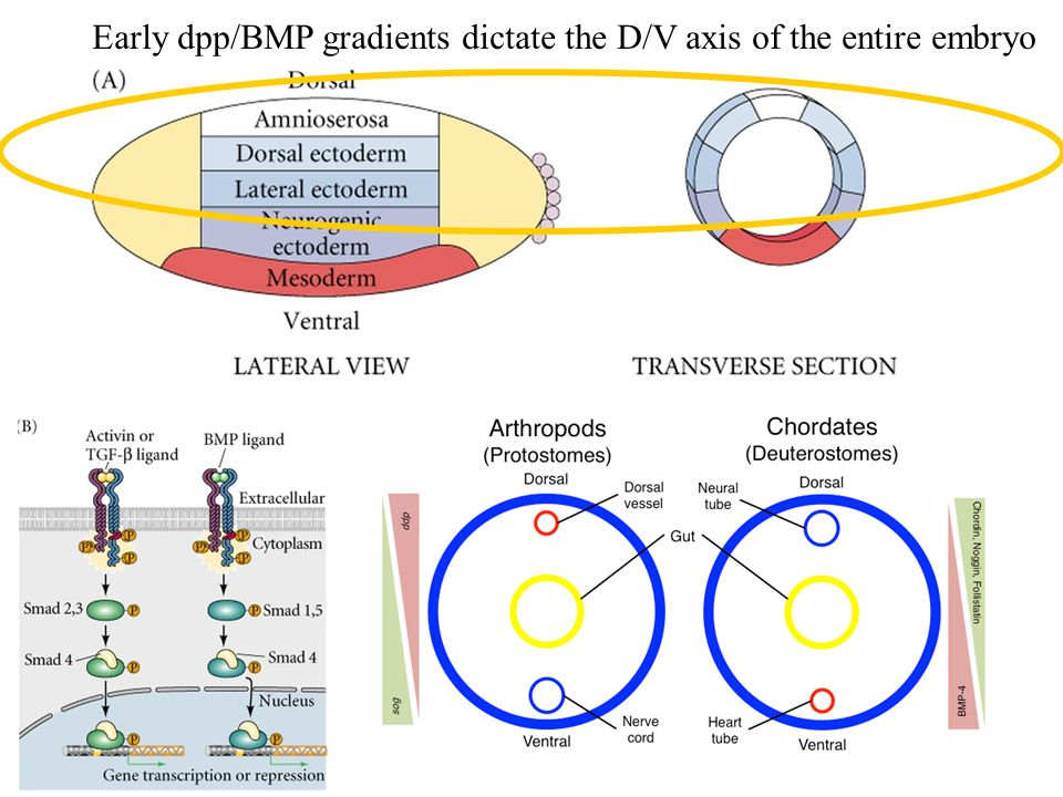 Early dpp/BMP gradients dictate the D/V axis of the entire embryo