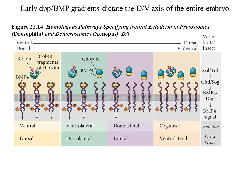 Figure 23.14 Homologous Pathways Specifying Neural Ectoderm in Protostomes (Drosophila) and Deuterostomes (Xenopus) D/V Early dpp/BMP gradients dictat