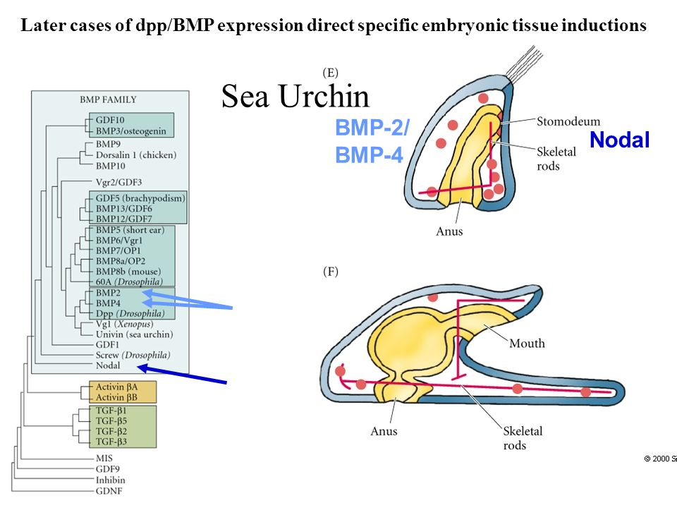Sea Urchin Nodal BMP-2/ BMP-4 Later cases of dpp/BMP expression direct specific embryonic tissue inductions