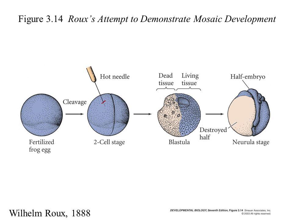 Figure 3.14 Roux's Attempt to Demonstrate Mosaic Development Wilhelm Roux, 1888