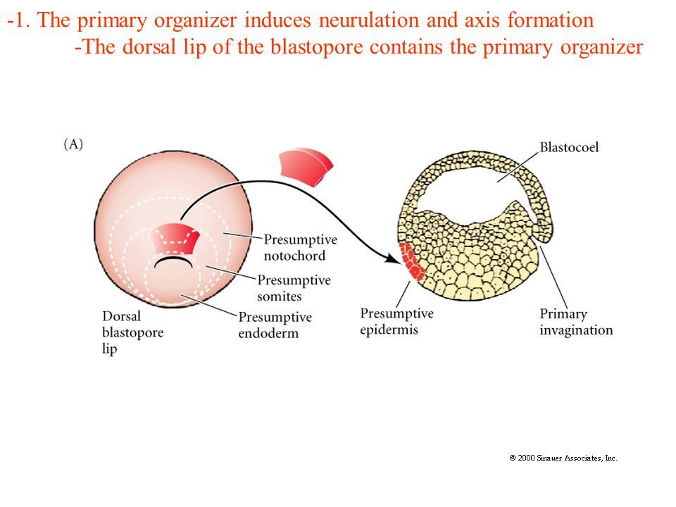 -1. The primary organizer induces neurulation and axis formation -The dorsal lip of the blastopore contains the primary organizer