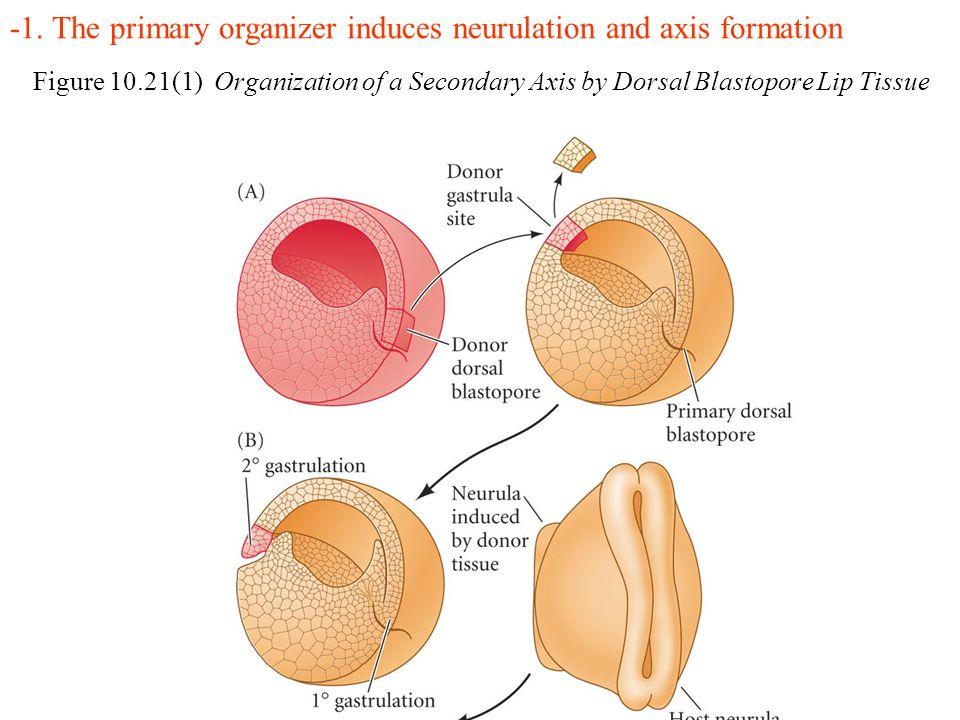 Figure 10.21(1) Organization of a Secondary Axis by Dorsal Blastopore Lip Tissue -1.