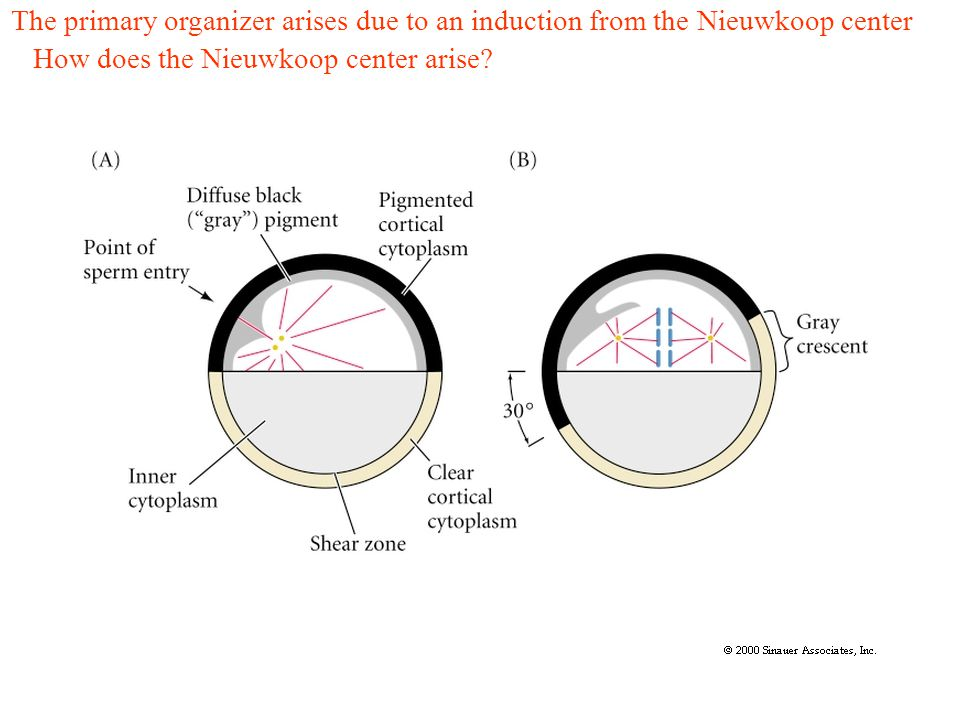 The primary organizer arises due to an induction from the Nieuwkoop center How does the Nieuwkoop center arise?
