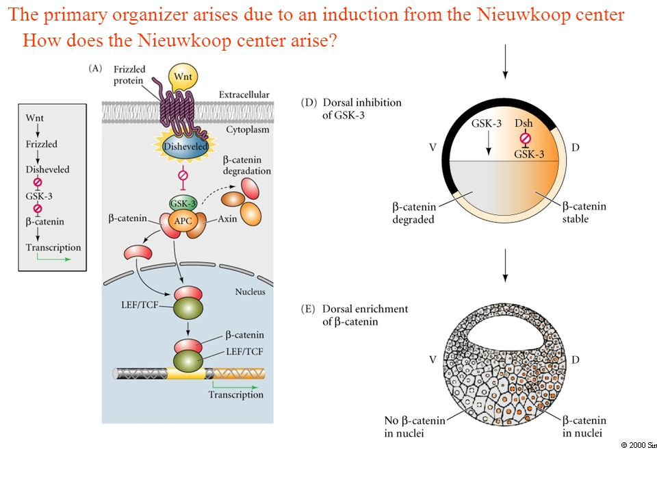 The primary organizer arises due to an induction from the Nieuwkoop center How does the Nieuwkoop center arise