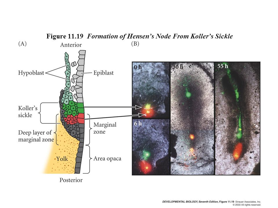 Figure 11.19 Formation of Hensen's Node From Koller's Sickle