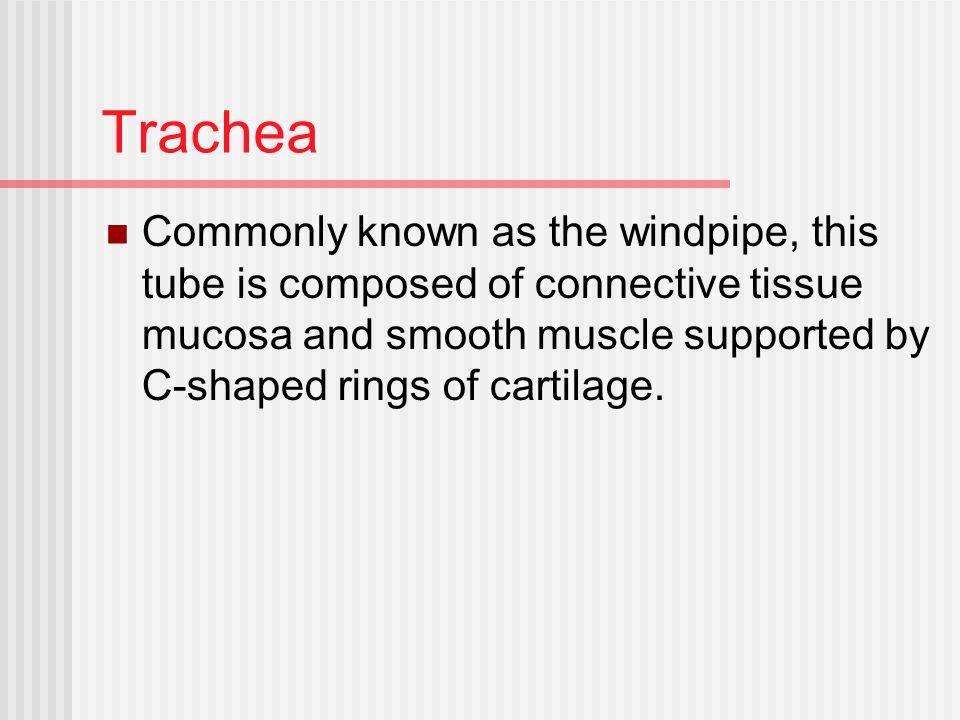 Trachea Commonly known as the windpipe, this tube is composed of connective tissue mucosa and smooth muscle supported by C-shaped rings of cartilage.