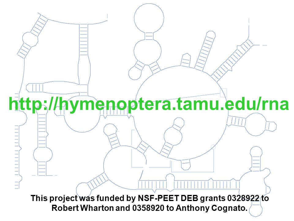 http://hymenoptera.tamu.edu/rna This project was funded by NSF-PEET DEB grants 0328922 to Robert Wharton and 0358920 to Anthony Cognato.