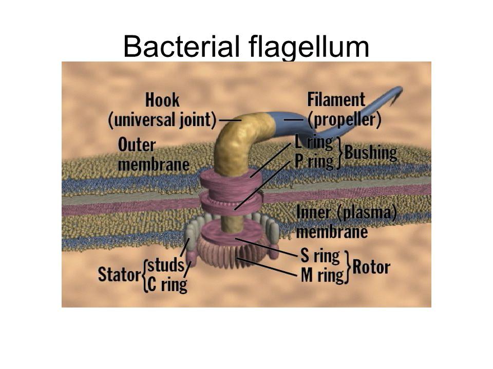Bacterial flagellum