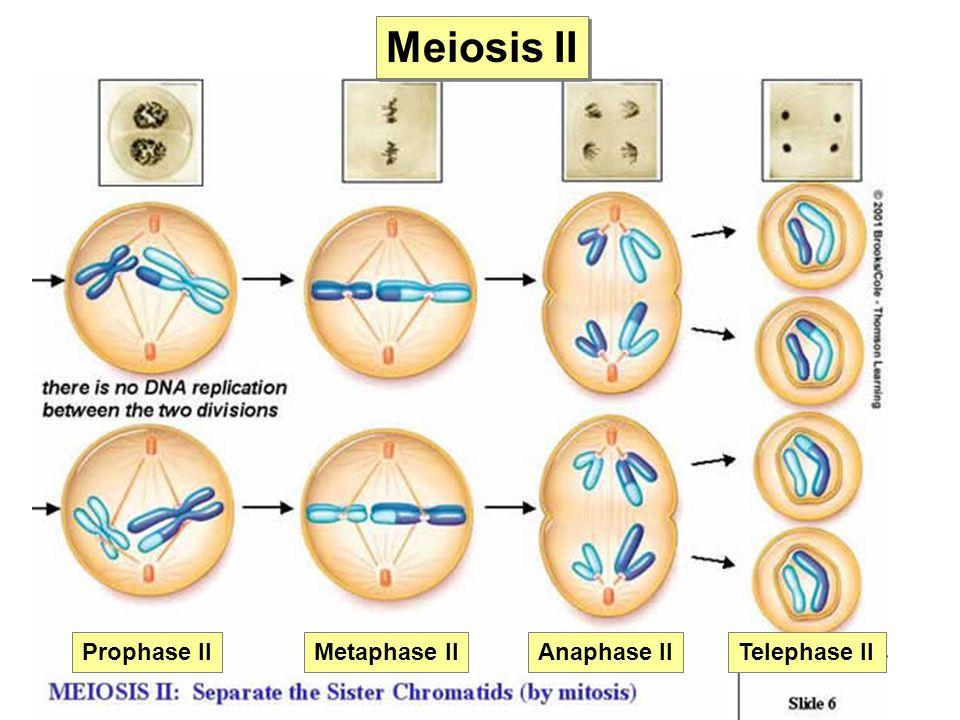 Meiosis II Prophase IIMetaphase IIAnaphase IITelephase II