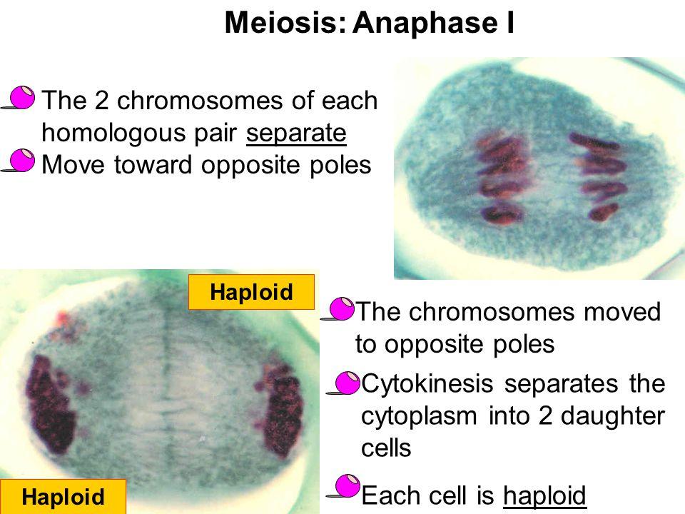 Meiosis: Anaphase I The 2 chromosomes of each homologous pair separate Move toward opposite poles Haploid The chromosomes moved to opposite poles Cyto