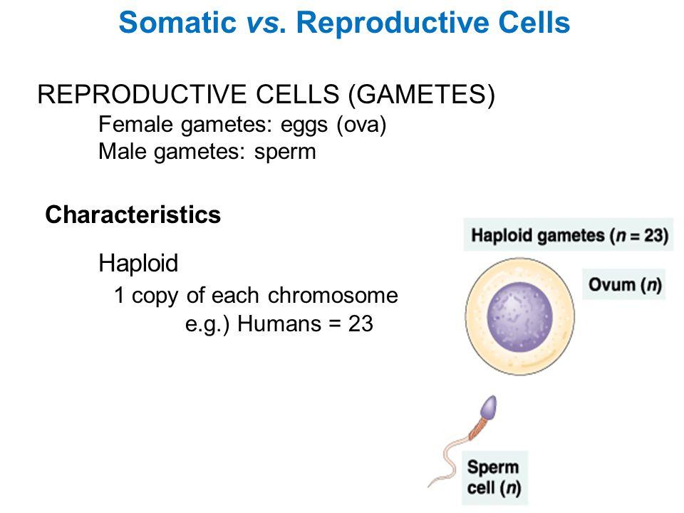 REPRODUCTIVE CELLS (GAMETES) Female gametes: eggs (ova) Male gametes: sperm Somatic vs. Reproductive Cells Characteristics Haploid 1 copy of each chro