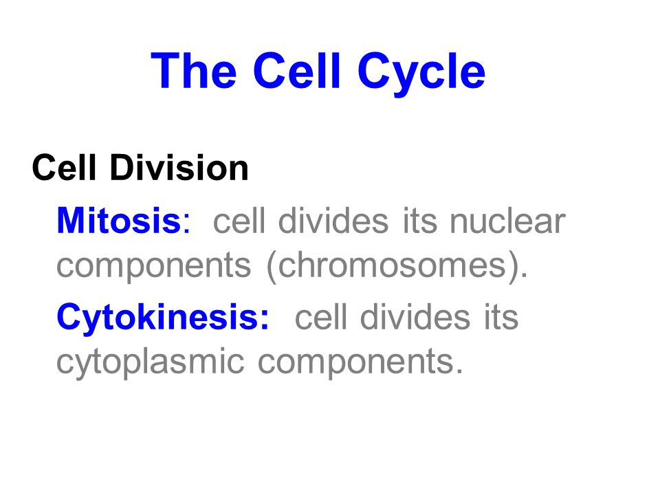 The Cell Cycle Cell Division Mitosis: cell divides its nuclear components (chromosomes). Cytokinesis: cell divides its cytoplasmic components.