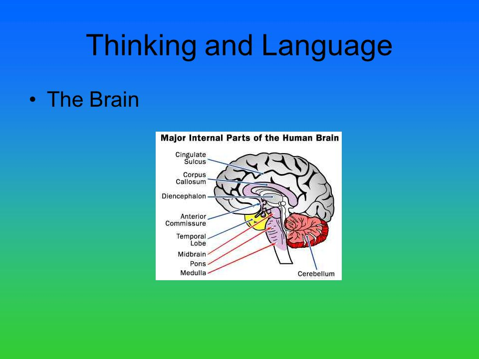 Thinking and Language The Brain