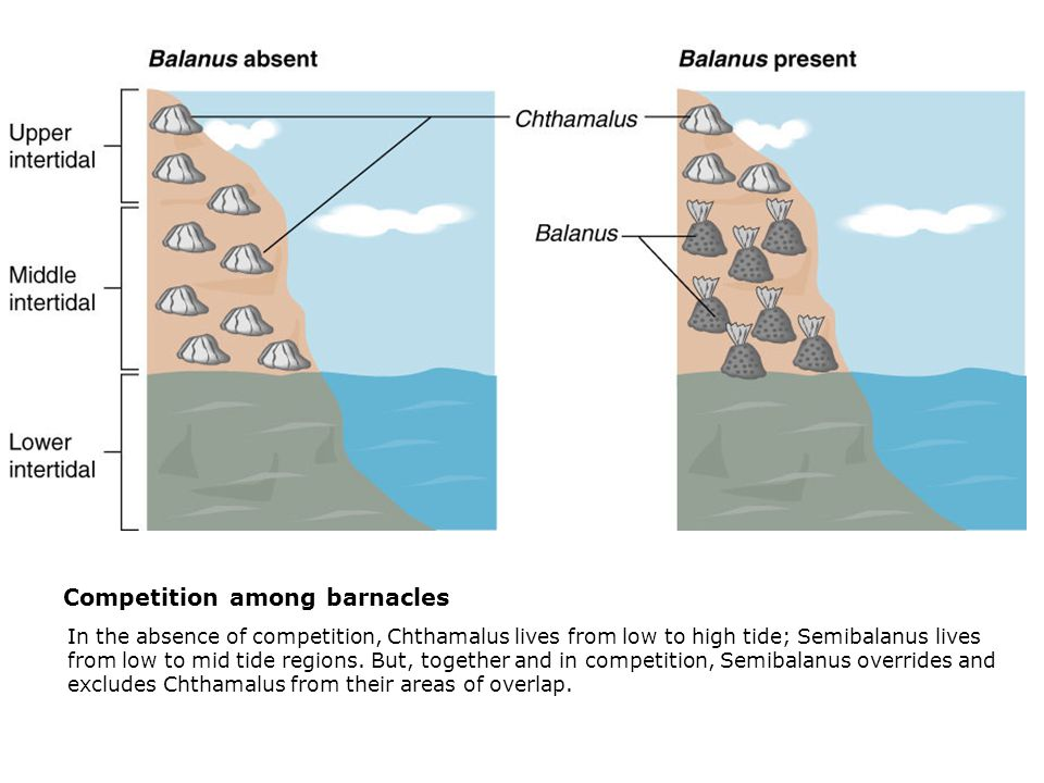 Competition among barnacles  In the absence of competition, Chthamalus lives from low to high tide; Semibalanus lives from low to mid tide regions. B