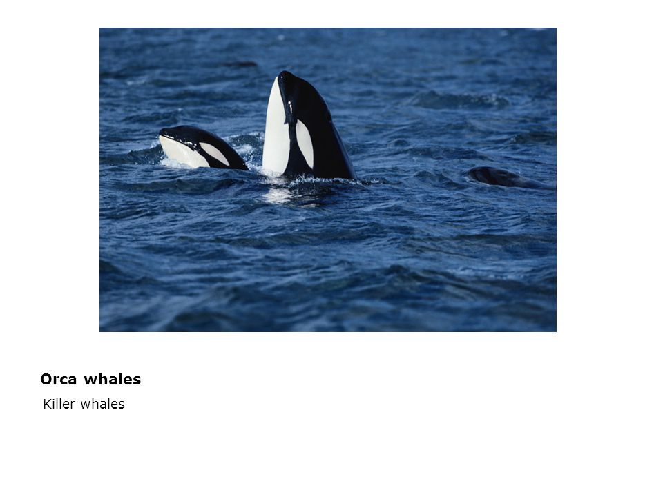Orca whales  Killer whales
