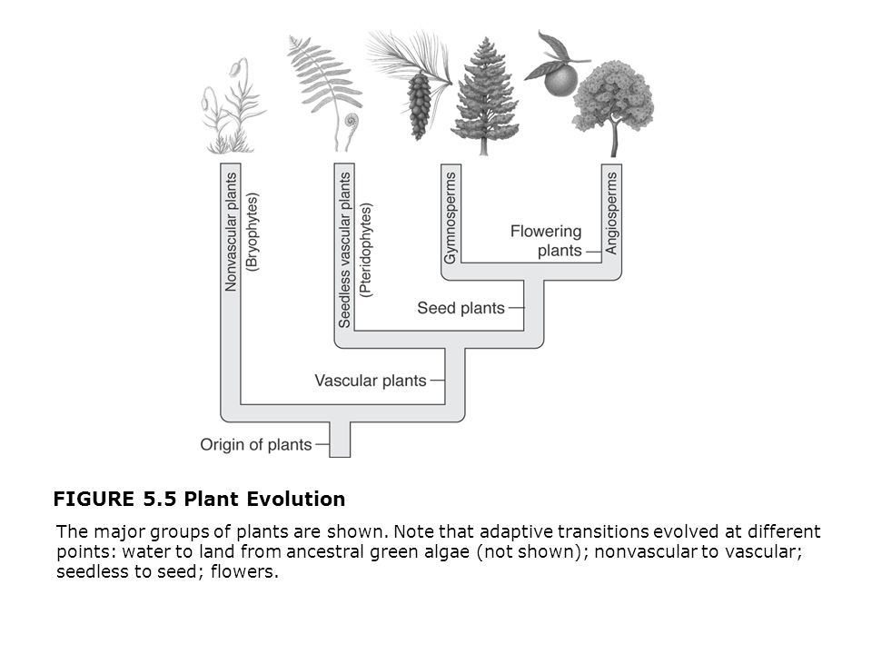 FIGURE 5.5 Plant Evolution  The major groups of plants are shown. Note that adaptive transitions evolved at different points: water to land from ance