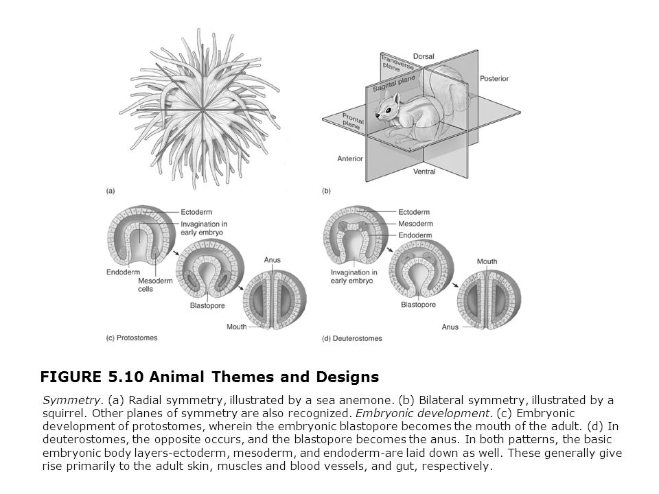 FIGURE 5.10 Animal Themes and Designs  Symmetry. (a) Radial symmetry, illustrated by a sea anemone. (b) Bilateral symmetry, illustrated by a squirrel