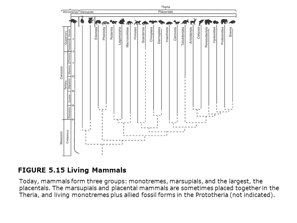 FIGURE 5.15 Living Mammals  Today, mammals form three groups: monotremes, marsupials, and the largest, the placentals. The marsupials and placental m