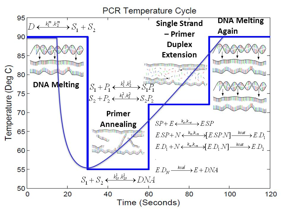 5/1/2015 School of Chemical Engineering, Purdue University 6 DNA Melting Primer Annealing Single Strand – Primer Duplex Extension DNA Melting Again