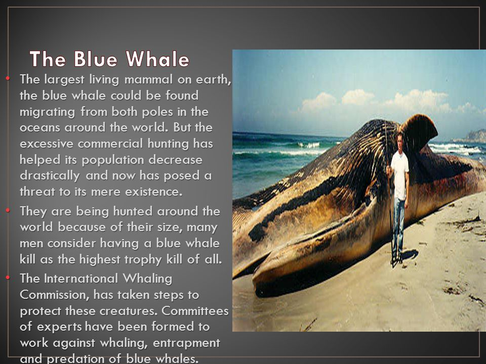 The largest living mammal on earth, the blue whale could be found migrating from both poles in the oceans around the world.