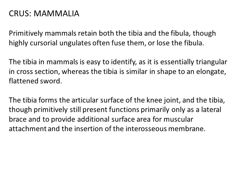 CRUS: MAMMALIA Primitively mammals retain both the tibia and the fibula, though highly cursorial ungulates often fuse them, or lose the fibula.