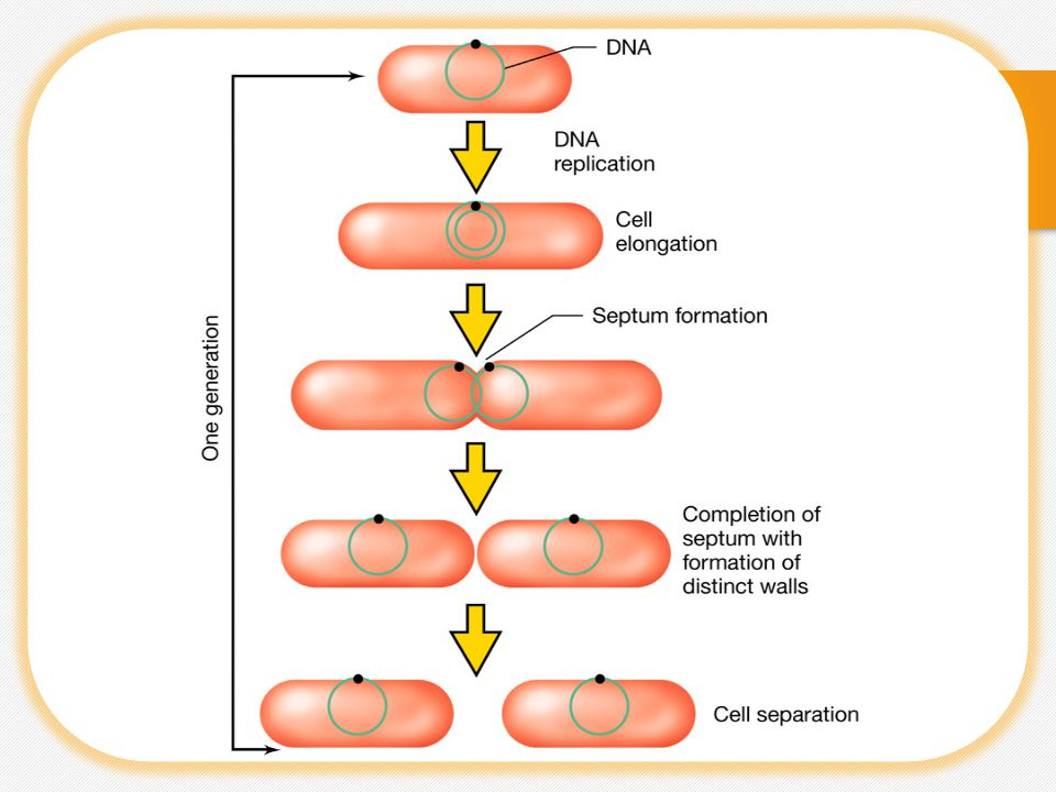 Growth in Batch Culture  Growth is generally used to refer to the acquisition of biomass leading to cell division, or reproduction  A Batch culture is a closed system in broth medium in which no additional nutrient is added after inoculation of the broth.