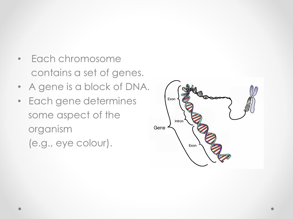Each chromosome contains a set of genes. A gene is a block of DNA.