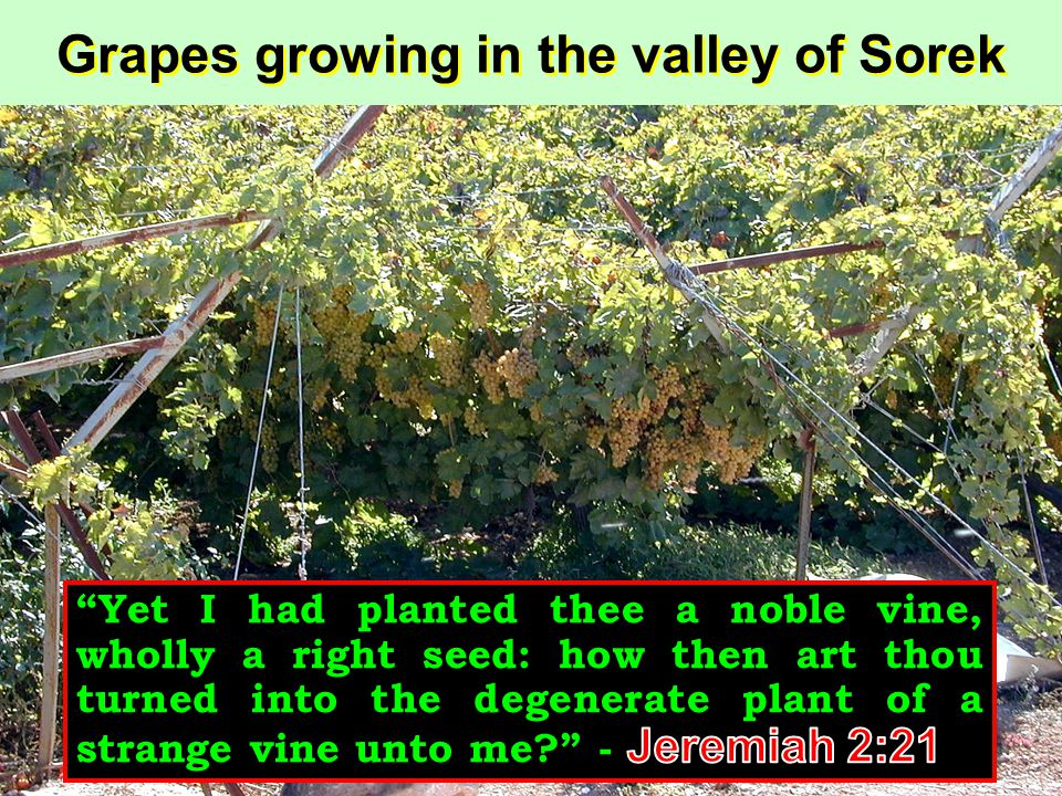 Grapes growing in the valley of Sorek