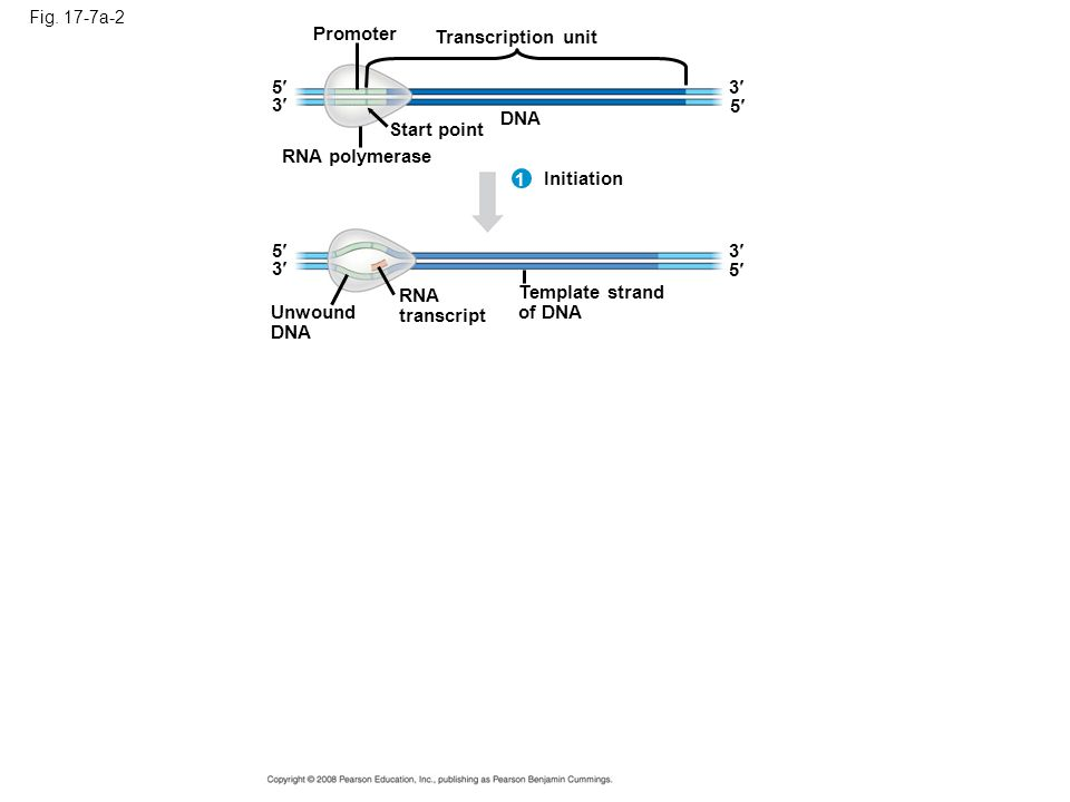 Fig. 17-7a-2 Promoter Transcription unit DNA Start point RNA polymerase 5 5 3 3 Initiation 3 3 1 RNA transcript 5 5 Unwound DNA Template strand of DNA