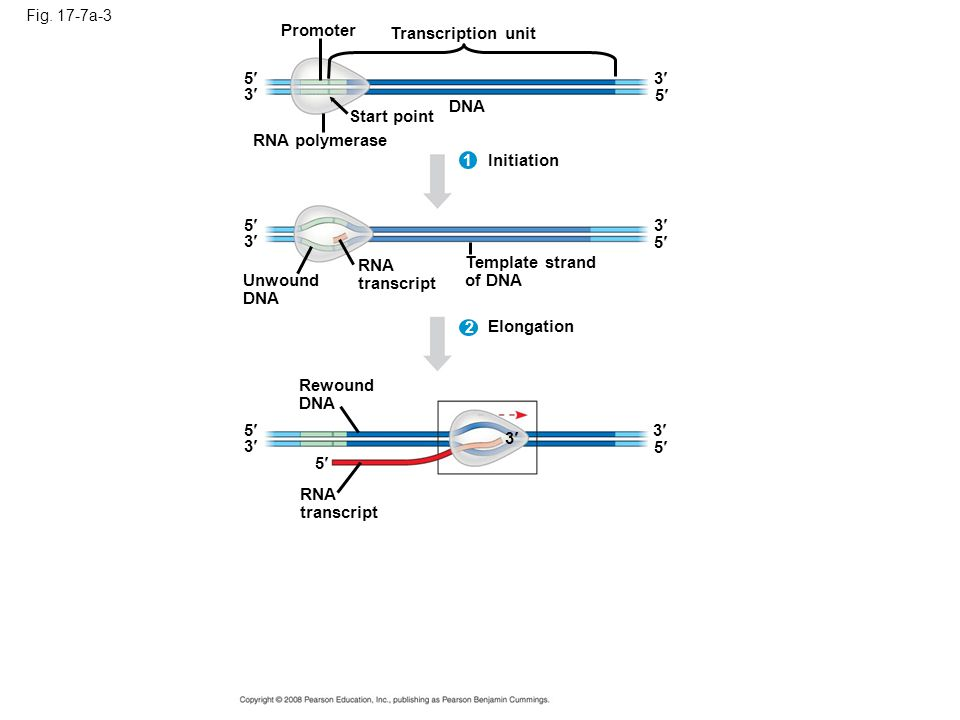 Fig. 17-7a-3 Promoter Transcription unit DNA Start point RNA polymerase 5 5 3 3 Initiation 3 3 1 RNA transcript 5 5 Unwound DNA Template strand of DNA