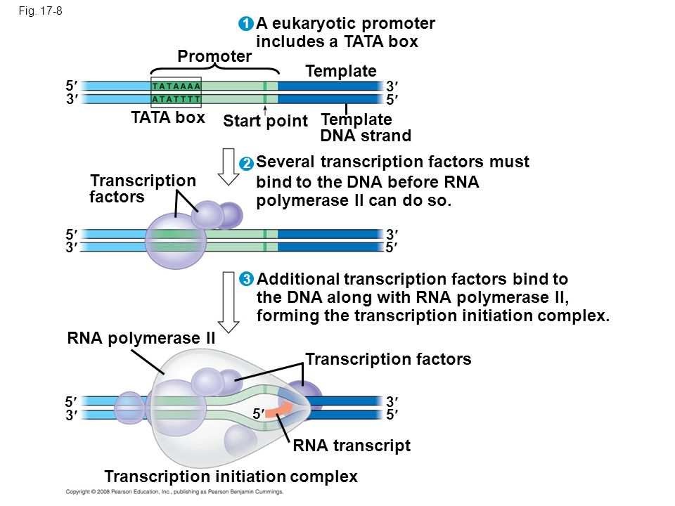 Fig. 17-8 A eukaryotic promoter includes a TATA box 3 1 2 3 Promoter TATA box Start point Template DNA strand 5 3 5 Transcription factors Several tran