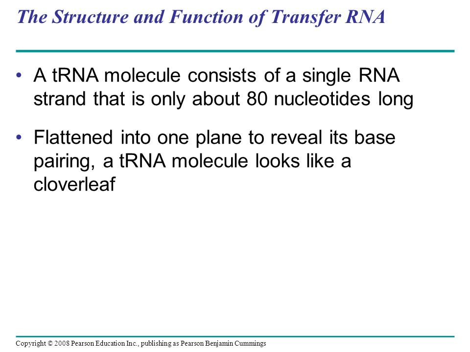 The Structure and Function of Transfer RNA A C C A tRNA molecule consists of a single RNA strand that is only about 80 nucleotides long Flattened into