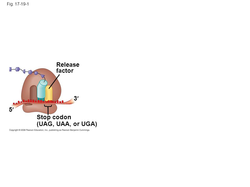 Fig. 17-19-1 Release factor 3 5 Stop codon (UAG, UAA, or UGA)