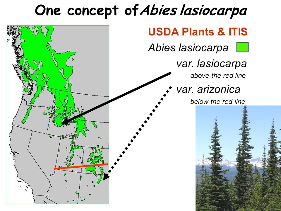 USDA Plants & ITIS Abies lasiocarpa var. lasiocarpa above the red line var. arizonica below the red line One concept ofAbies lasiocarpa