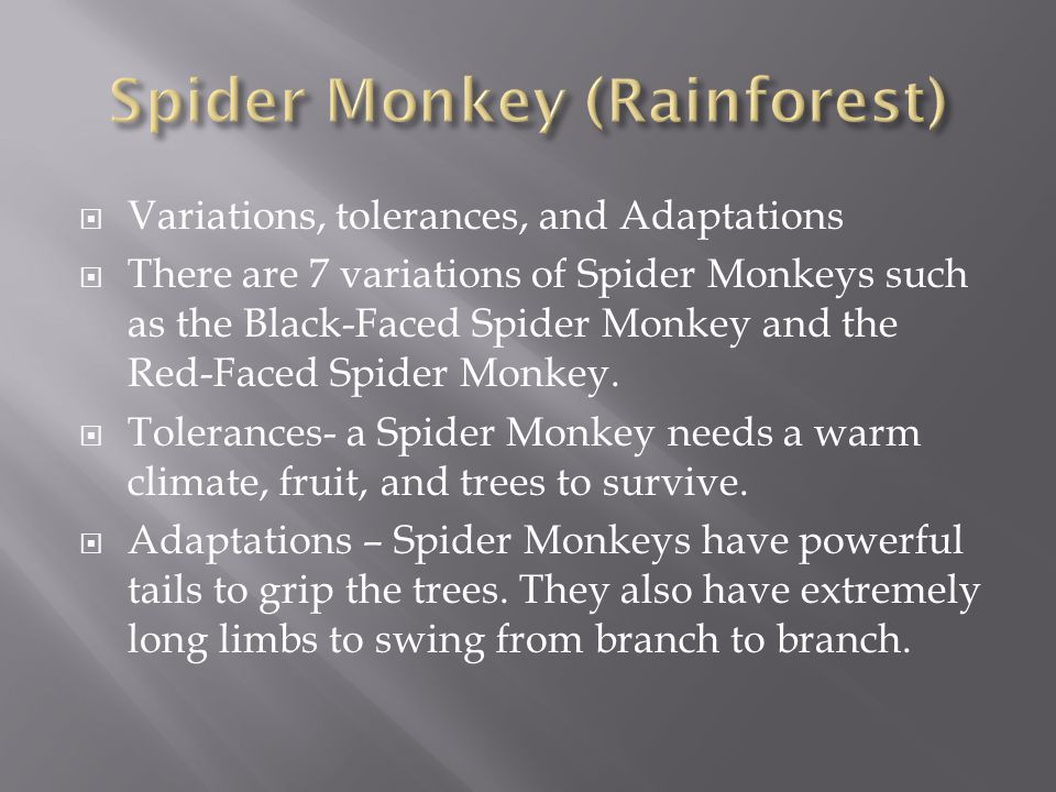  Variations, tolerances, and Adaptations  There are 7 variations of Spider Monkeys such as the Black-Faced Spider Monkey and the Red-Faced Spider Mo