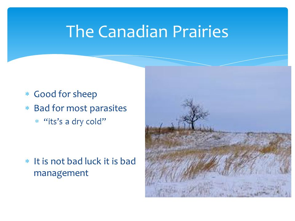 The Canadian Prairies  Good for sheep  Bad for most parasites  its's a dry cold  It is not bad luck it is bad management