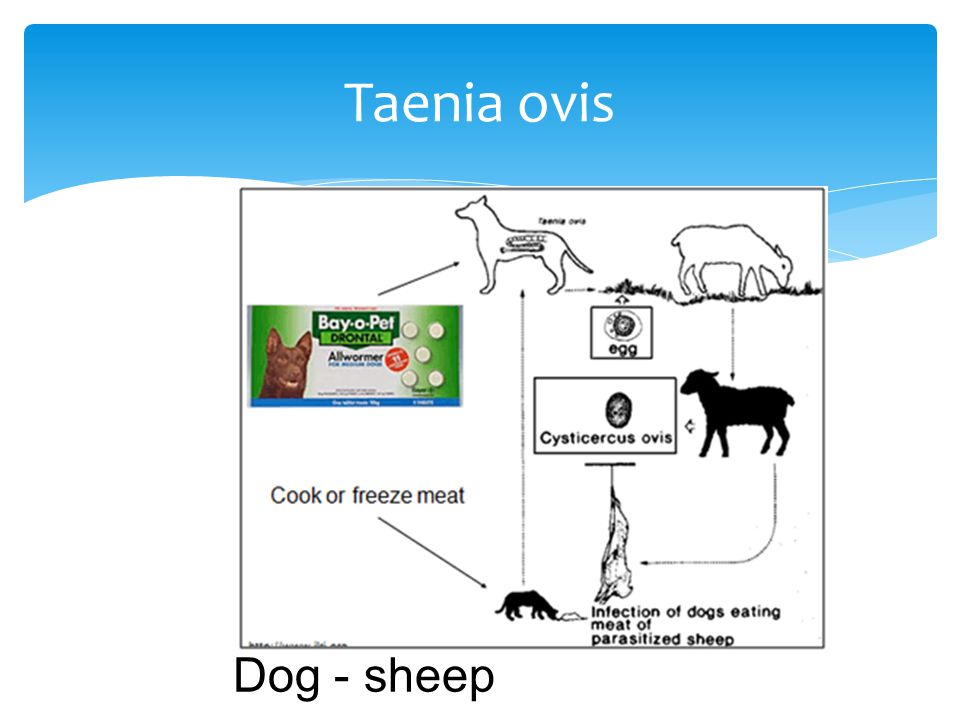Taenia ovis Dog - sheep