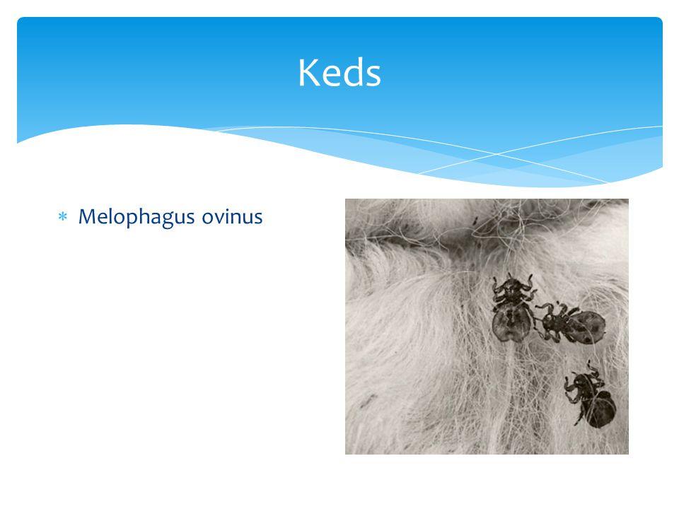 Keds  Melophagus ovinus