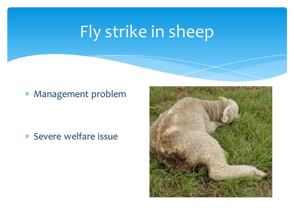 Fly strike in sheep  Management problem  Severe welfare issue