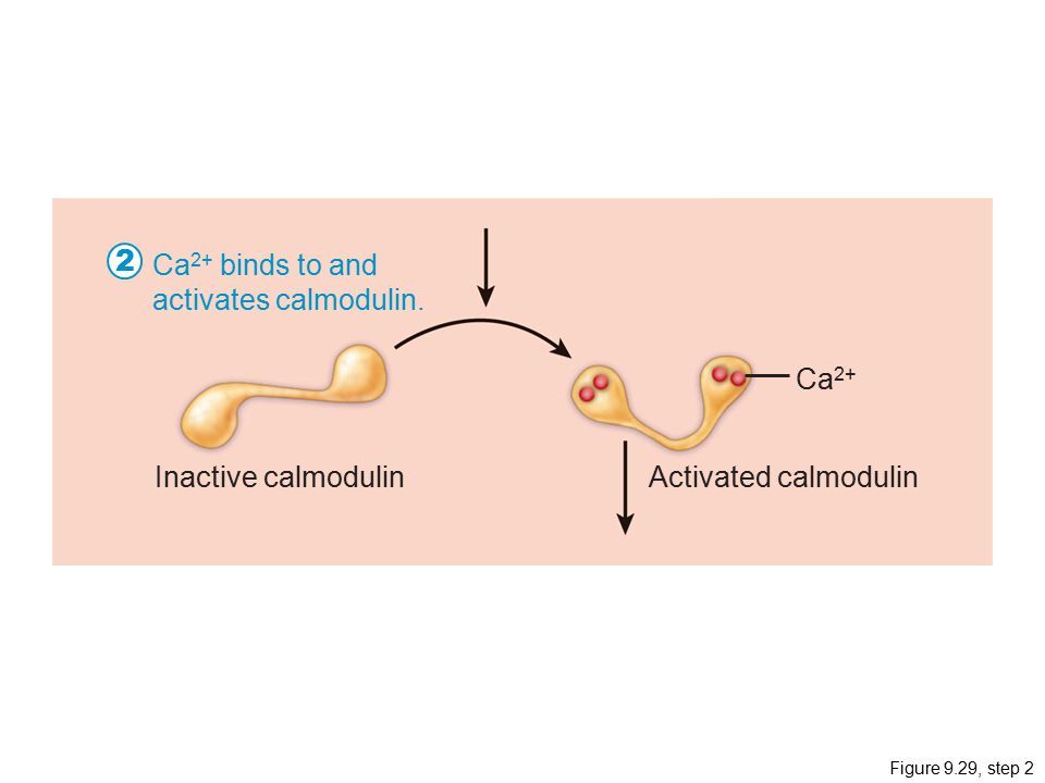 Figure 9.29, step 2 Ca 2+ Inactive calmodulinActivated calmodulin Ca 2+ binds to and activates calmodulin.