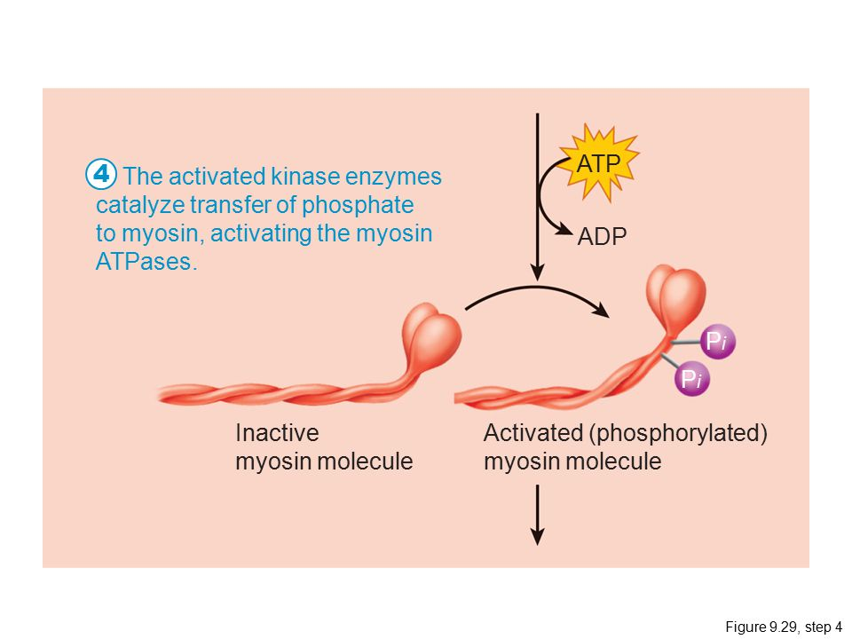 Figure 9.29, step 4 ATP PiPi PiPi ADP Inactive myosin molecule Activated (phosphorylated) myosin molecule The activated kinase enzymes catalyze transfer of phosphate to myosin, activating the myosin ATPases.